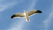 Racek Jonathan Livingston